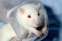 Campus Jobs: Feeding Research Rats
